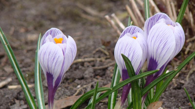 Весенние крокусы: 28 фото цветов