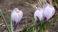 Весенние крокусы: 28 фото цветов | Дизайн в стиле Прованс - французский стиль кантри в вашем доме